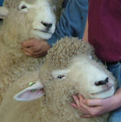 Contented sheep in judging line
